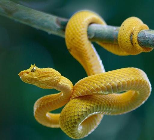 Mơ thấy rắn vàng