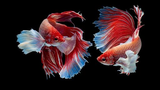 Những con số may mắn đối với giấc mơ thấy cá