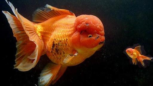 Ý nghĩa đằng sau giấc mơ thấy cá vàng